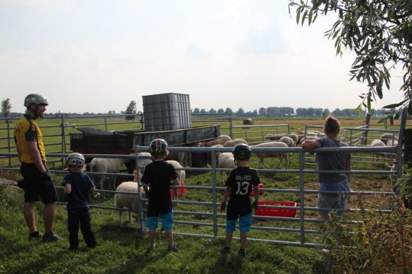 Family Sheep